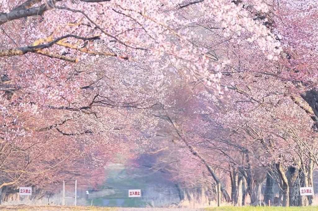 北海道櫻花2020
