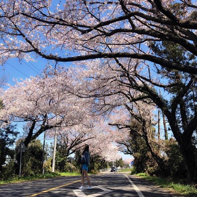 濟州櫻花2020