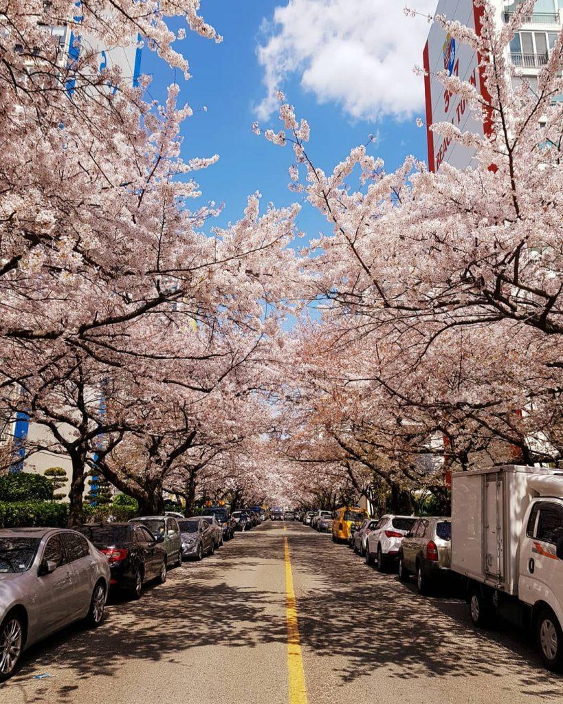 釜山櫻花2020