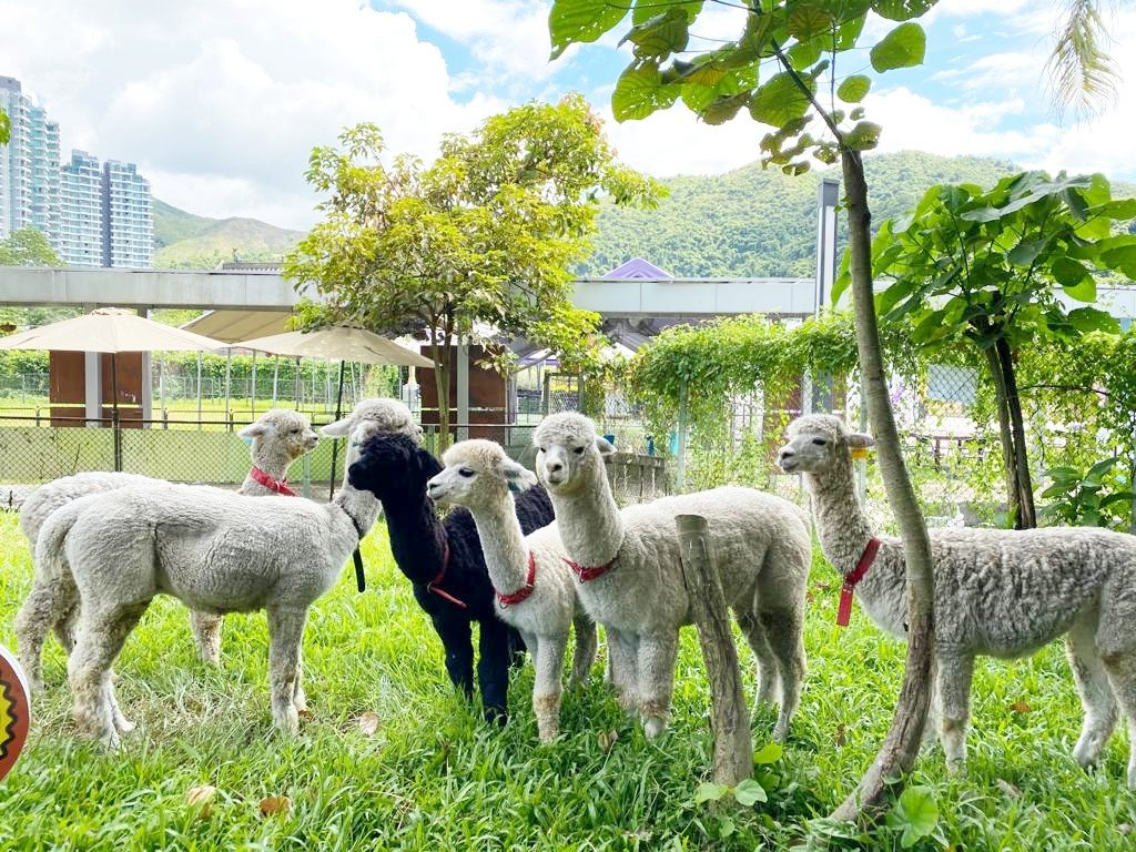 大埔蝶豆花園有機農莊羊駝