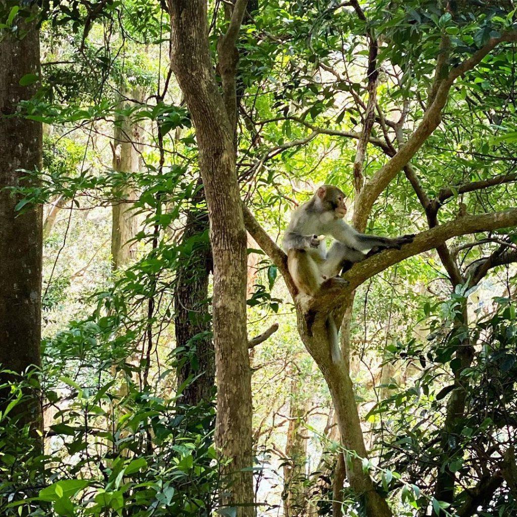 城門水塘行山-菠蘿壩猴子
