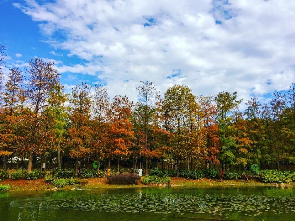香港紅葉-青衣公園紅葉